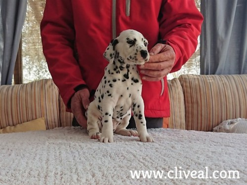 dalmatian puppy suppar de cliveal 2