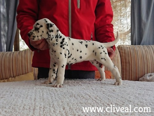 dalmatian puppy suppar de cliveal