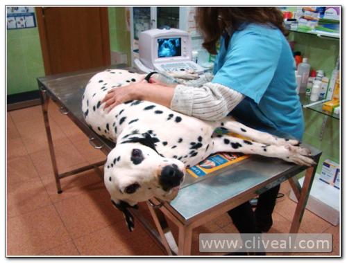 ecografía de gestación de una perra de raza dálmata