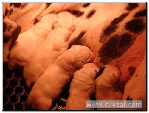 los cachorros de dalmata nacen blancos