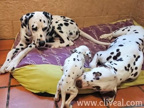 papas cuidando su cachorro
