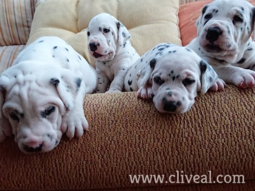 preciosos cachorros