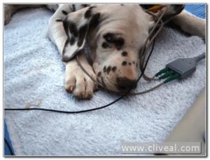 audicion cachorro dálmata
