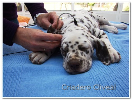 test baer cachorro cliveal