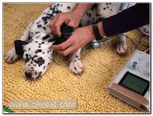 test-de-baer-cachorro-dalmata