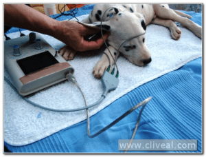 test de sordera a un cachorro dalmata