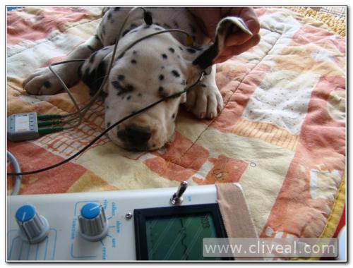 test de sordera cachorro dálmata