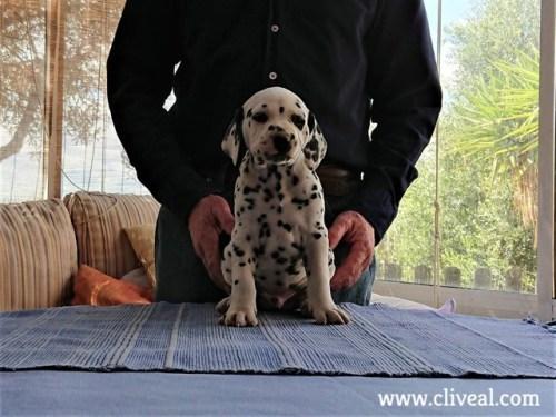 tholos de cliveal cachorro sentado