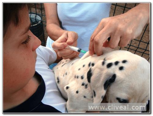 vacuna cachorro dalmata