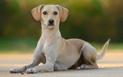 La sterilizzazione del cane