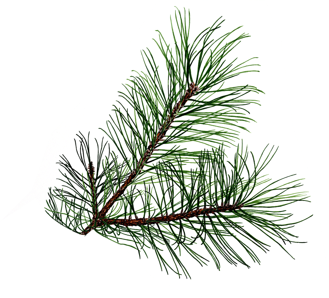 Pine Branch Free Images At Clker
