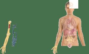 Human Body Anatomy Basics Model Clip Art at Clker  vector clip art online, royalty free