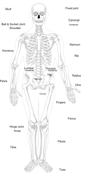 Labeled Skeleton Clip Art at Clker  vector clip art online, royalty free & public domain