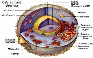 celula umana