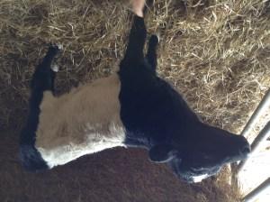 Texas, a Dutch Belted calf