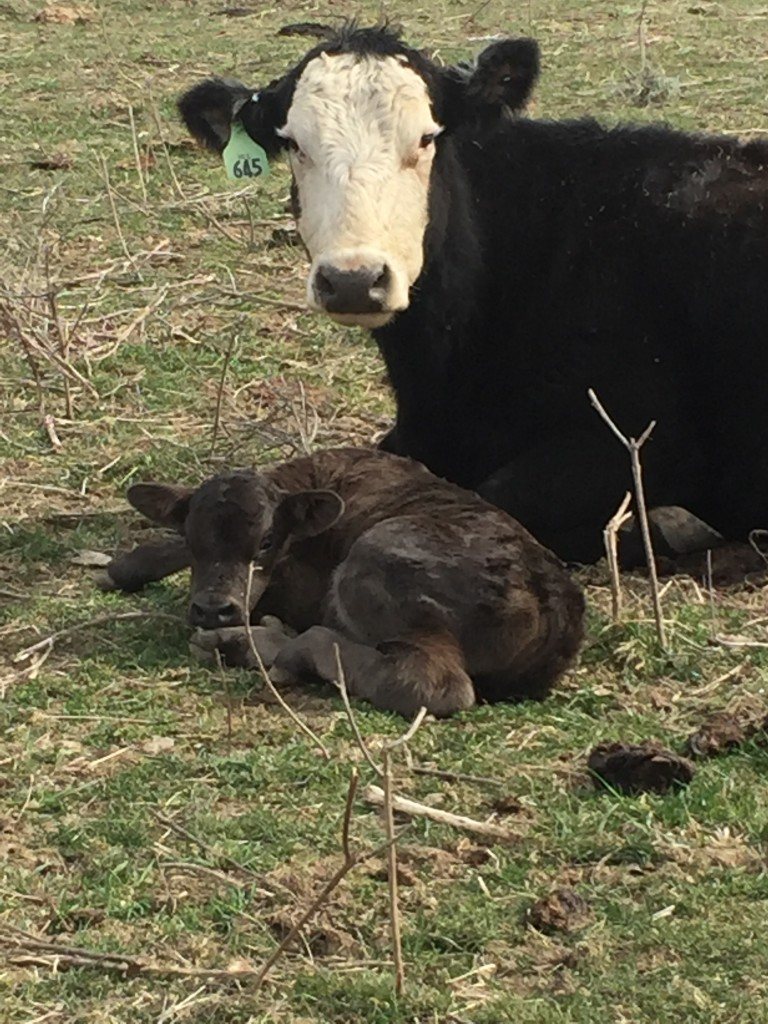 Cows 101 Where Are Baby Calves Born Video Clover