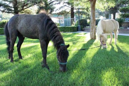 Ace, front, and Candy, back, are both Miniature Horses