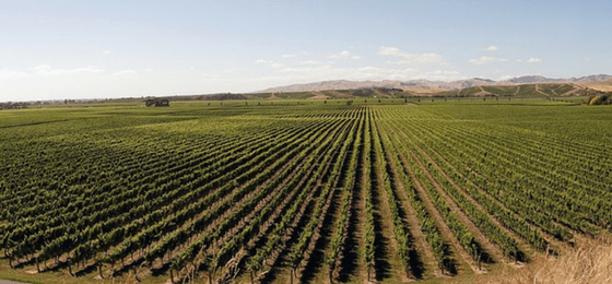 vino neozelandese vigneto chardonnay