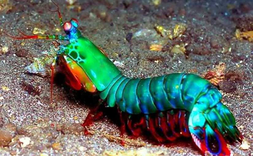 Langosta Mantis (Stomotopoda)