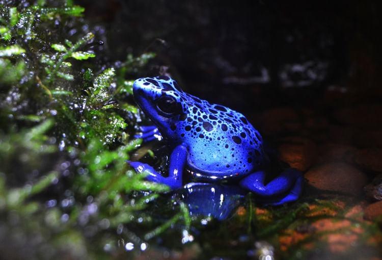 Rana veneno azul (Dendrobates Azureus)