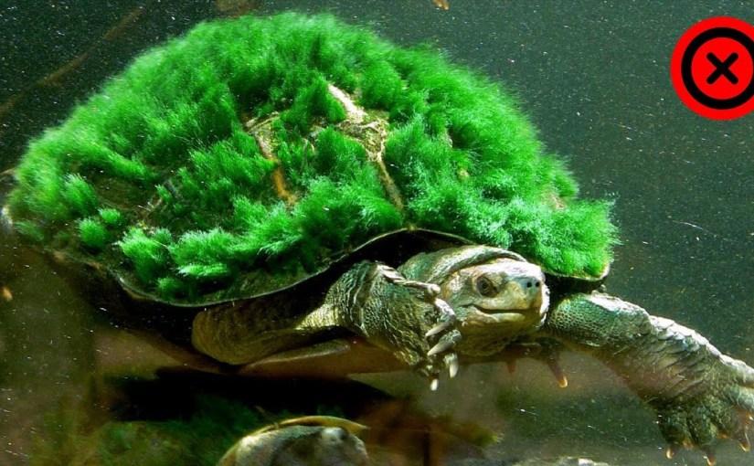 Tortuga Punky (Podocnemis Lewyana)