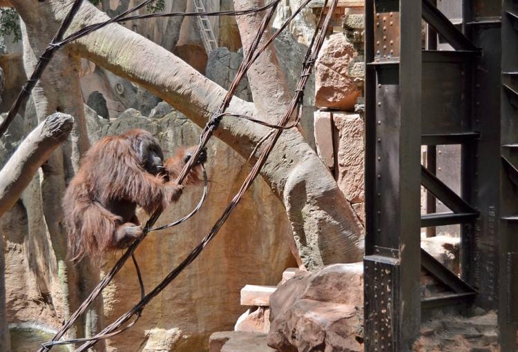 Orangután de borneo (Pongo Pygmaeus)