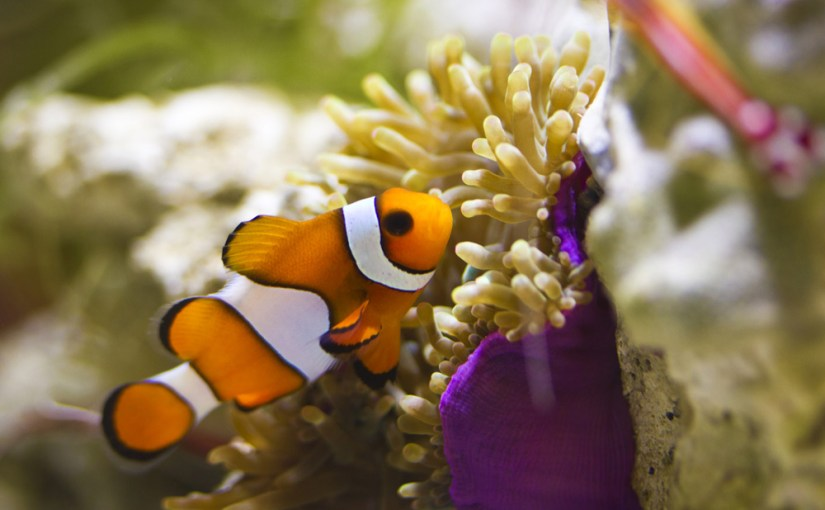 Pez payaso (Amphiprion ocellaris)