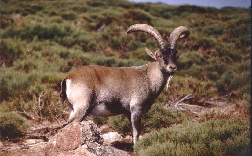 Cabra montesa (Capra pyrenaica)