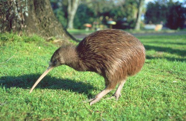 Kiwi (Apterix)