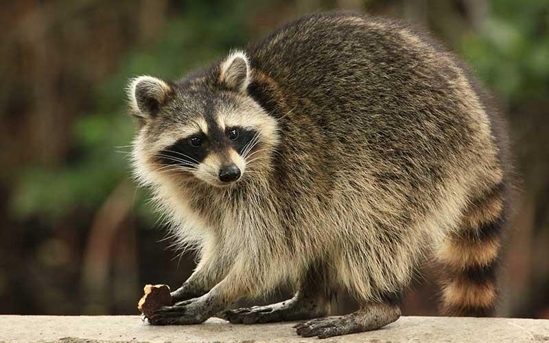 mapache boreal, racuna, zorra manglera, gato manglatero, mapache común y osito lavador (Procyon lotor)