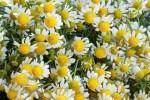 Camomila Odor que recorda o destas plantas (macela) e que se detecta em alguns vinhos jovens.