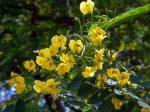 Acácia, flor de Aroma floral que se encontra em alguns brancos muito delicados.