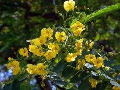 flor de acácia