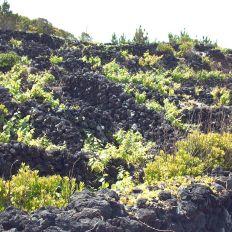 Pico - Curraletas do Vinho de cheiro e Verdelho