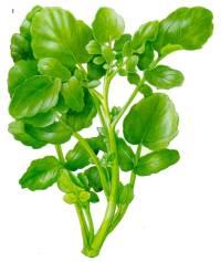 Agriões - possuem ácido fórmico que, utilizado em quantidades elevadas, por vezes nas saladas ou como acompanhamento de pratos de carne estufada, o ácido mistura-se com os taninos dos tintos, potenciando a sua adstringência.