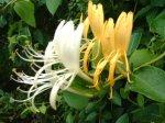 Madressilva Odor floral, vivo e delicado, ligeiramente melado. Encontra-se em alguns vinhos brancos e espumantes, evocando as fragrâncias da madressilva.