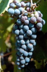 """PETIT VERDOT O nome """"petit verdot"""" (""""verde pequeno"""") refere-se a um dos principais problemas desta casta; muitas vezes os bagos não se desenvolvem adequadamente se o clima não for o correto durante a floração. Petit Verdot é uma casta tinta utilizada principalmente em lote nos Bordeaux clássicos. Amadurece tardiamente (em Bordéus, muito mais tarde que as outras variedades caindo assim em desgraça). Quando amadurece, é adicionada ao lote em pequenas quantidades para acrescentar taninos, cor e sabor. A Petit Verdot tem mais uma particularidade que é a de muitas vezes dar dois cachos por rebento."""