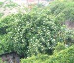 Sabugueiro Odor floral, amoscatelado, meloso, que recorda a fragrância exalada pela flor do sabugueiro.