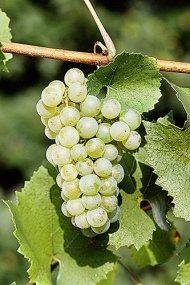 uvas-chardonnay