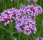 Verbena Odor floral que recorda o das flores e das folhas da verbena aromática.
