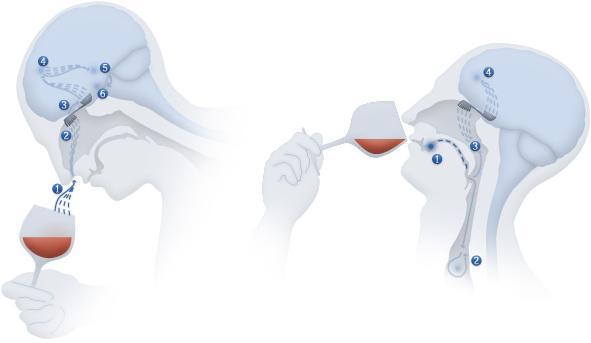 A apreciação de vinhos inicia-se necessáriamente nas sensações do nariz: o olfacto! Os aromas do vinho por sua vez constituem um registo histórico que o nosso cérebro grava ao longo da nossa vida de sabores. O aproximar do nariz ao copo de vinho remete-nos para esse registo de experiências e aromas, e aqui começa a descrição dos vinhos!