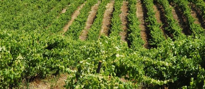 quinta-de-pancas-vineyards_21299093544f0c5a34d3767
