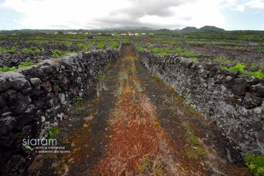 A Ilha do Pico é constituída basicamente por duas empresas produtoras de Vinho do Pico: a Cooperativa Vitivinícola da Ilha do Pico e a Curral Atlantis, ambas sediadas na Madalena.