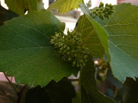flor-da-uva-e1274909700632