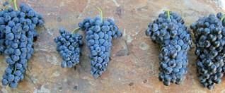 6336_Principal-grape-varieties