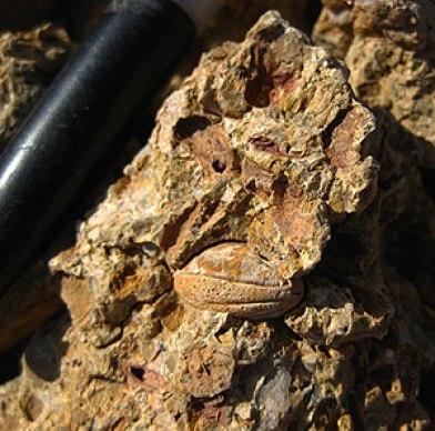 fossil de uva2