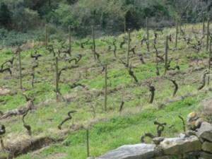vinhas velhas de João de Santarém