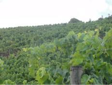 qcortezia-vinhas