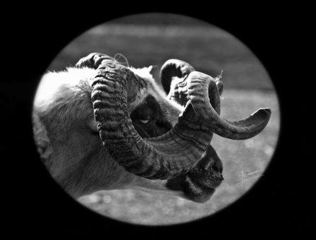 ovelha-churra