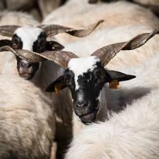 ovelha-churra-6